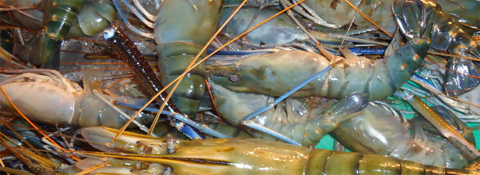 Scampi/Fresh Water Shrimp.....Famous World Wide for Its Test and ...